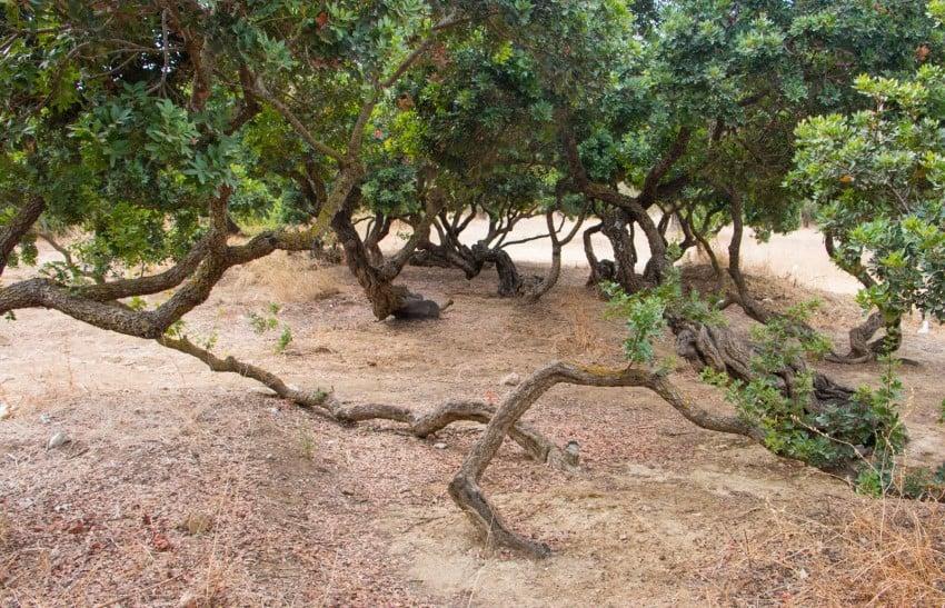 Alaçatı Rehberi Damla Sakızı Ağaçları