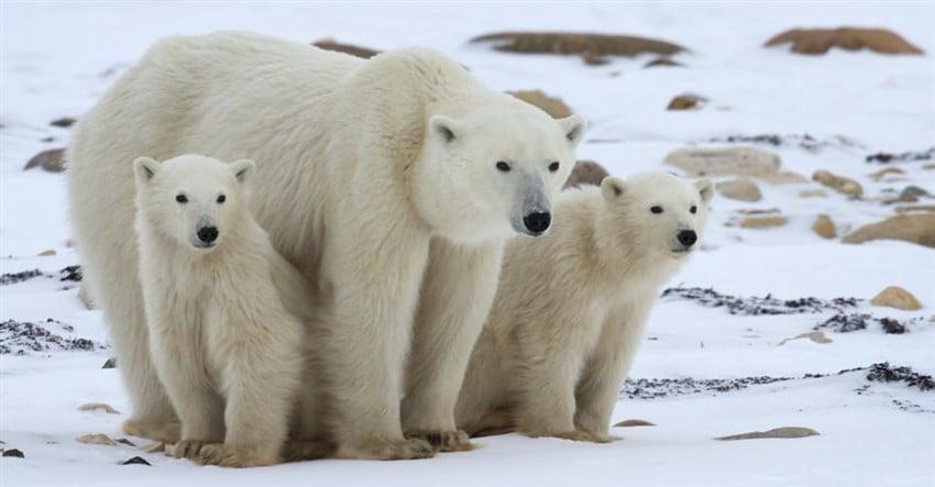 Yok Olmadan Gitmeniz Gereken 10 Yer Kuzey Kutup Ayıları