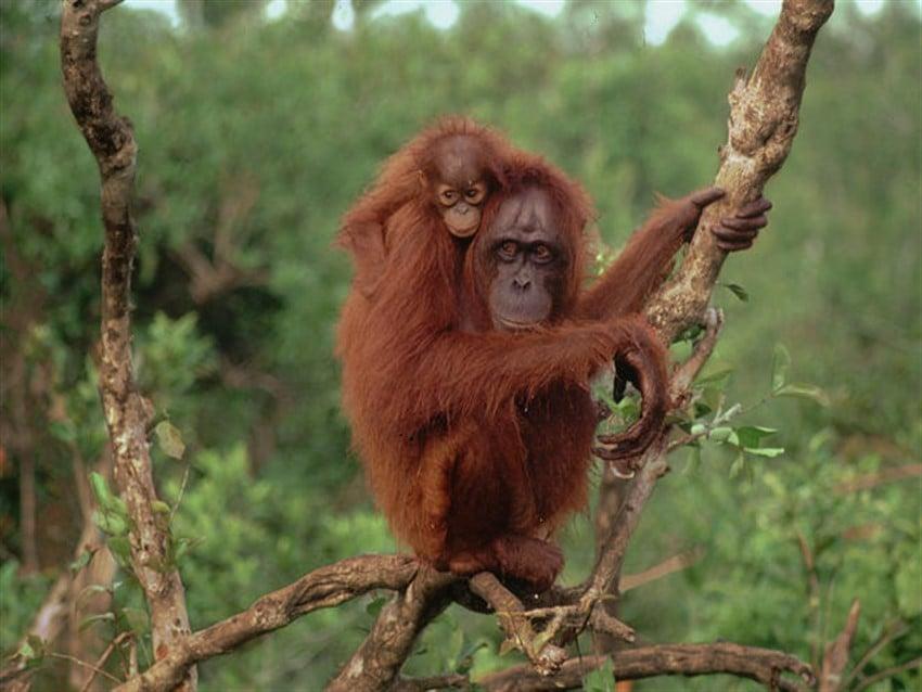 Yok Olmadan Gitmeniz Gereken 10 Yer Malezya, Borneo'da Orangutanlar