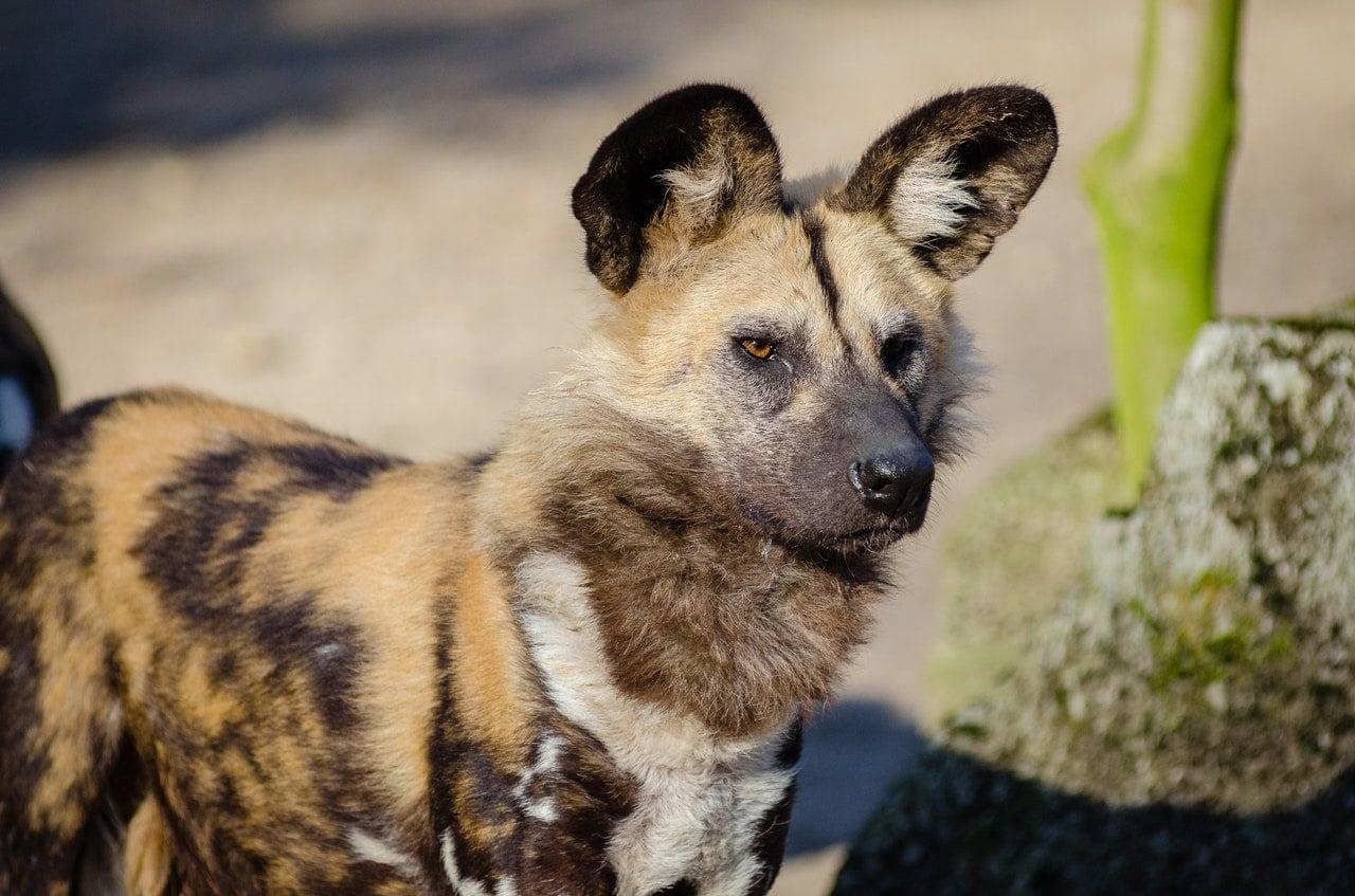 Güney Afrika'nın Hayvanları Afrika Yaban Köpeği