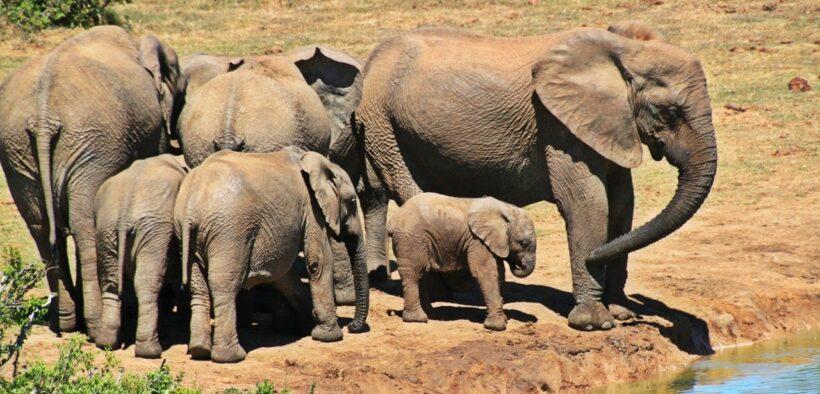 Güney Afrika'nın Hayvanları Fil