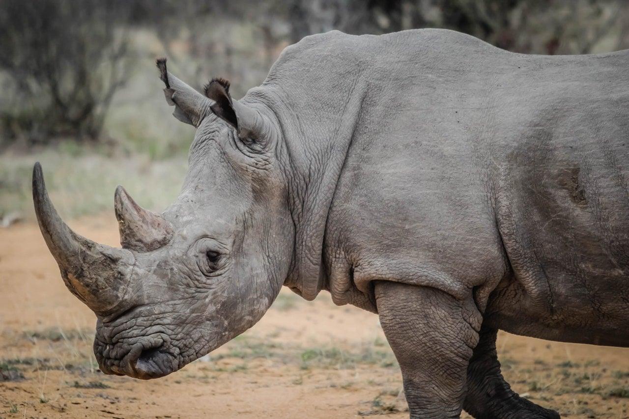 Güney Afrika'nın Hayvanları Gergedan