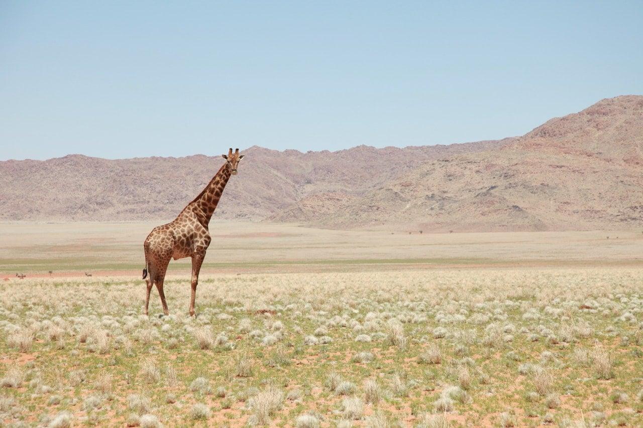Güney Afrika'nın Hayvanları Zürafa