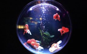Belçika'da Gecelik Japon Balığı Kiralayabileceğiniz Otel
