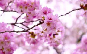 Tokyo'dan Kiraz Çiçekleri