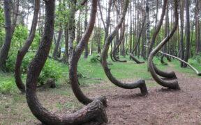 Krzywy Las Polonya Çarpık Orman