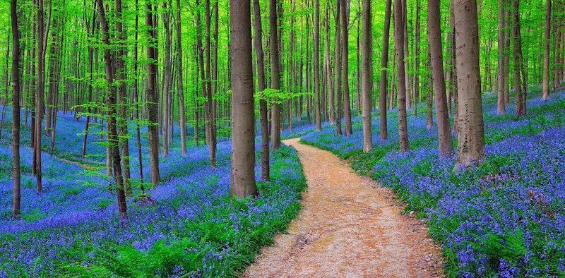 belgian blue forest